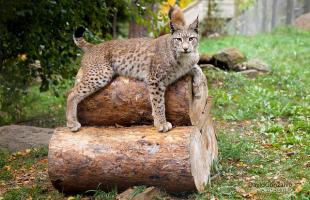 Lince ibérico: el felino más amenazado del mundo