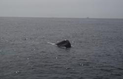 Whale Watch en Tarifa (Cádiz)
