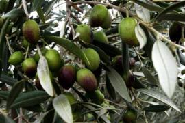 Cata guiada de aceite de oliva entre olivos