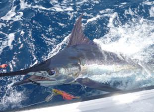Blue Marlin Charters