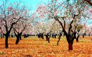 Los mejores lugares para ver almendros en flor de España