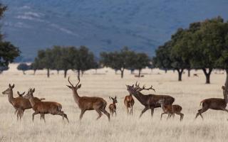 7 lugares dónde ver la berrea de los ciervos en España